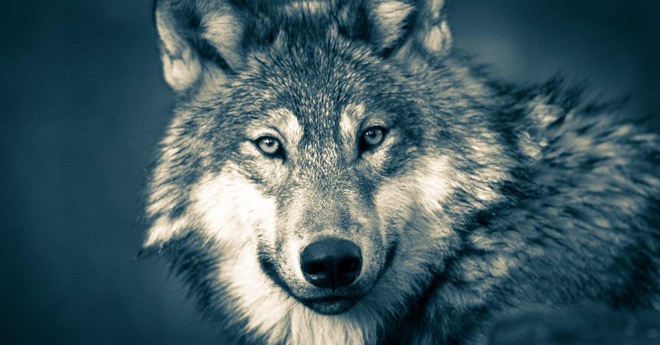 Wolf Kopf Wölfe Kostenloses Foto Auf Pixabay
