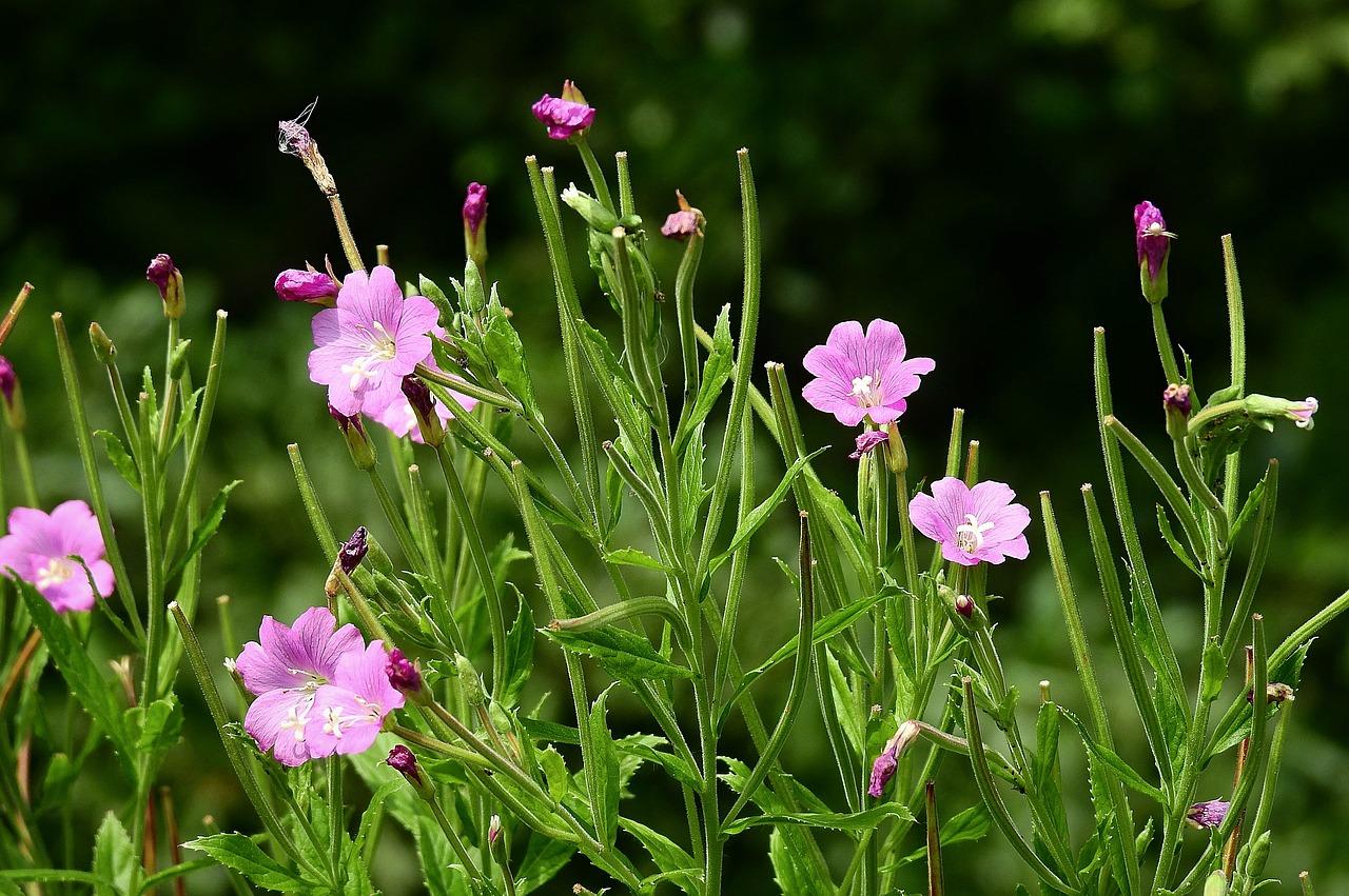 узнать луговой цветок по фотографии вижу