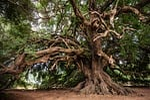 drzewo oliwne, drzewo, olivier