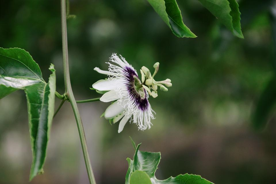 como plantar maracujá
