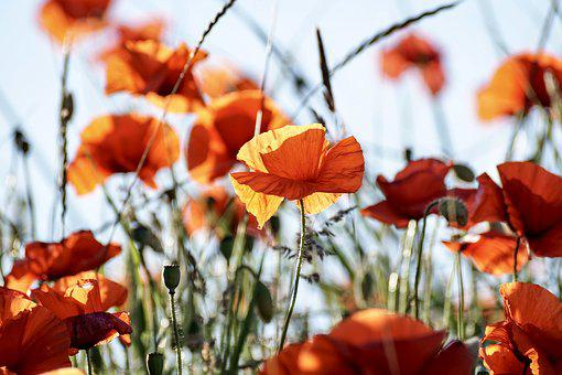 Poppy flower images pixabay download free pictures poppy flowers red plant flora mightylinksfo
