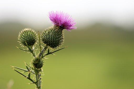 Bardane, Arctium Lappa, Plantes, Flore