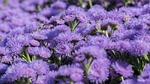 flowers, garden, purple