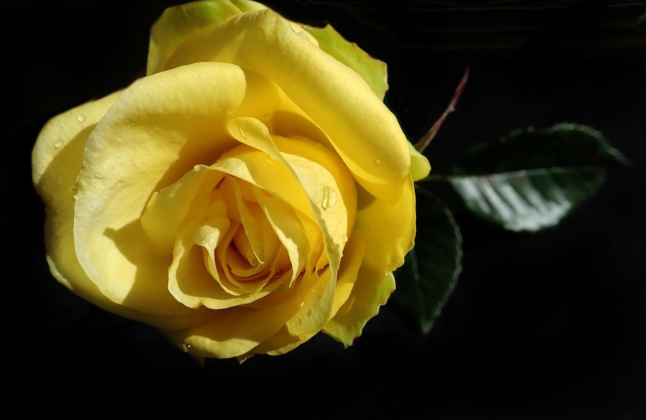 картинки растоптать желтую розу имела почти