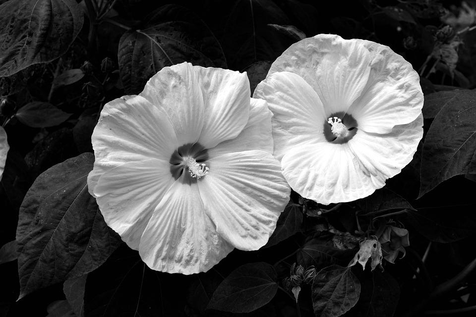 Bunga Kembang Sepatu Satu Foto Gratis Di Pixabay
