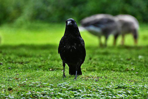 čierne kohúty v čiernej mačička