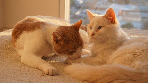 Кошки, Любовь, Домашнее Животное