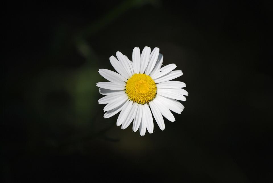 Daisy flower bloom free photo on pixabay daisy flower bloom nature spring summer blossom mightylinksfo