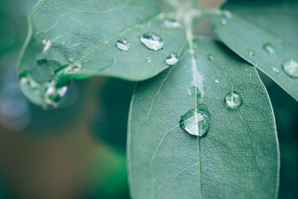 Plant, Akebia, Leaf, Green, Rain, Drip, Close Up