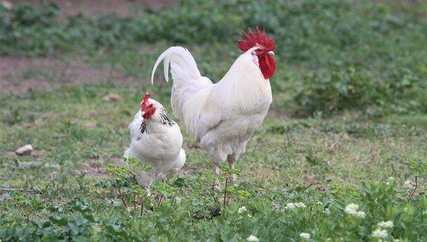 vita kycklingar stor svart dick