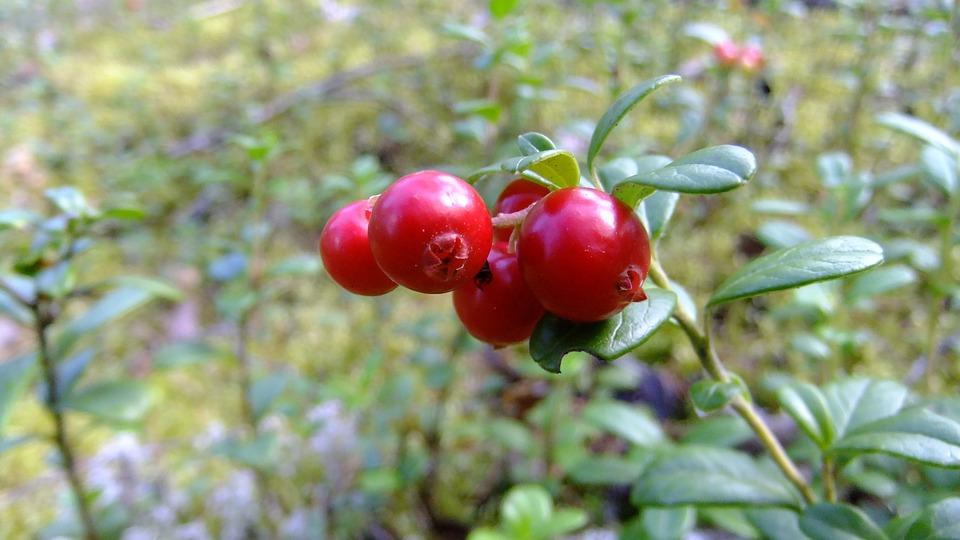 Berry, Mirtilli Rossi, Rosso, Maturo, Autunno, Natura