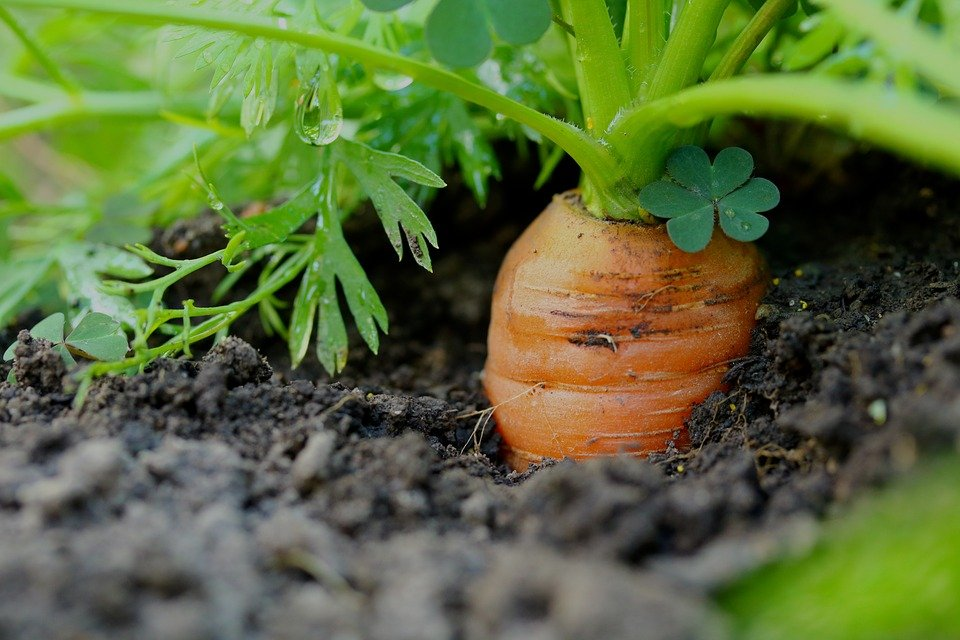 Carrots, Vegetables, Healthy, Cultivation, Garden