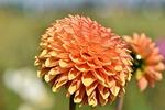 dahlia, dahlias bud, flower