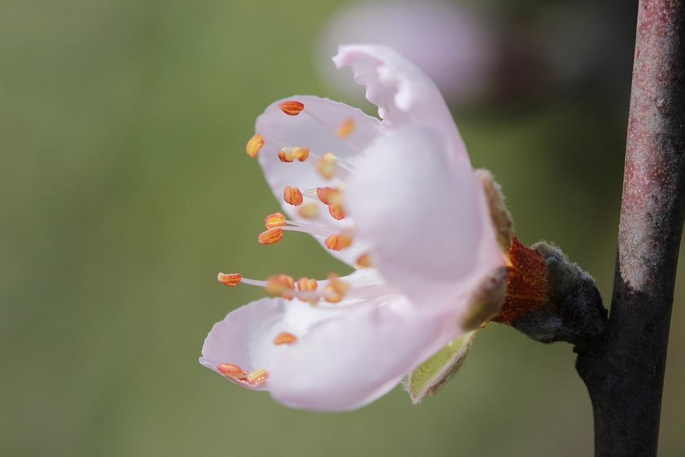 Fleur Pecher Printemps Photo Gratuite Sur Pixabay