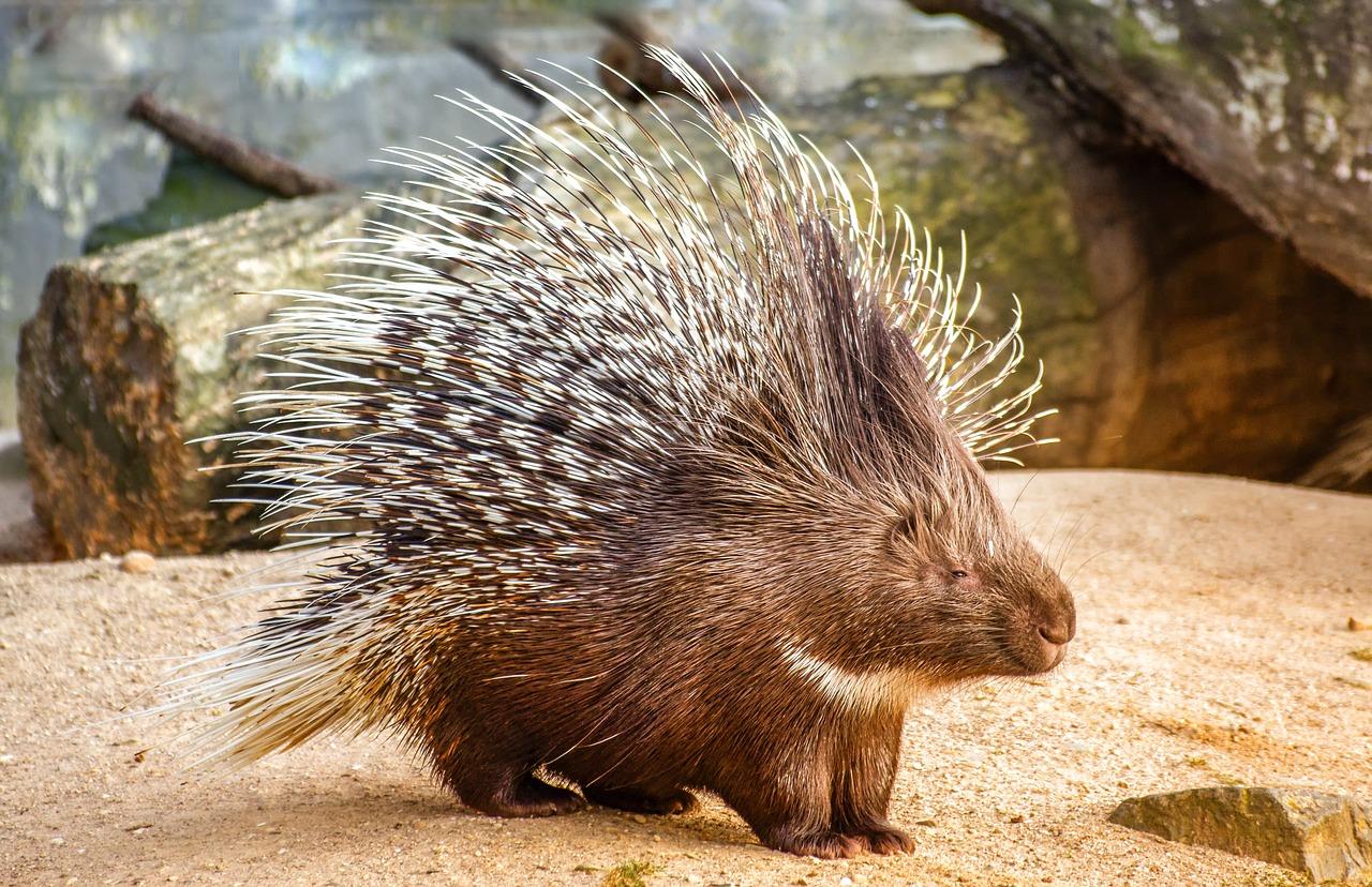 Nature Animal Porcupine - Free photo on Pixabay