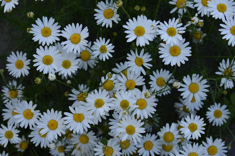 daisy-3588970_960_720.jpg