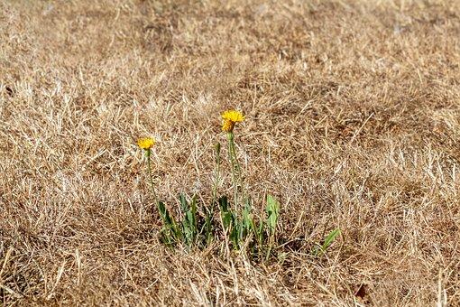 dandelion weed growing in dry lawn