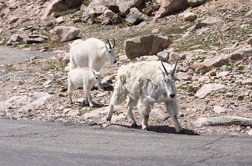 Chèvre De Montagne, Mt, Evans, Colorado