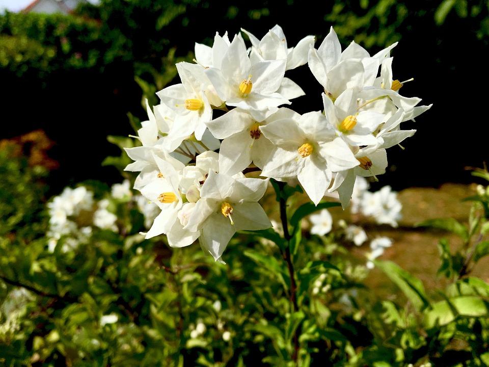 Fleur Jasmin Fleurs Photo Gratuite Sur Pixabay