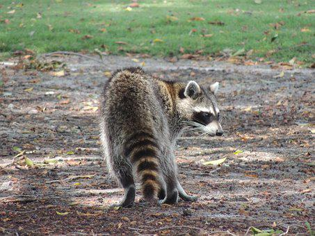 Raccoon, Wild Animal, Nature, Outdoor