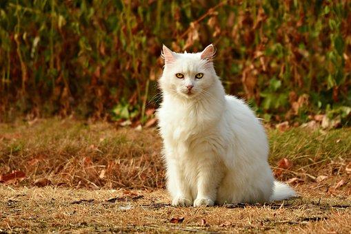 Cat, White, Animal, Mammal, Feline