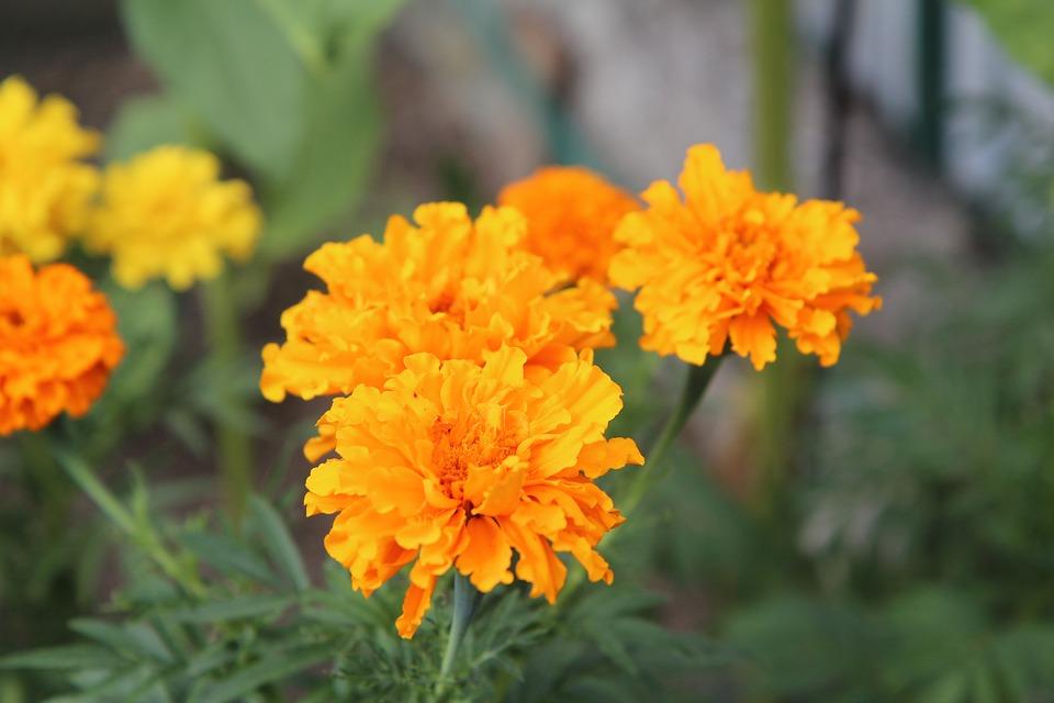 Rose of india golden yellow free photo on pixabay rose of india golden yellow yellow flowers yellow mightylinksfo