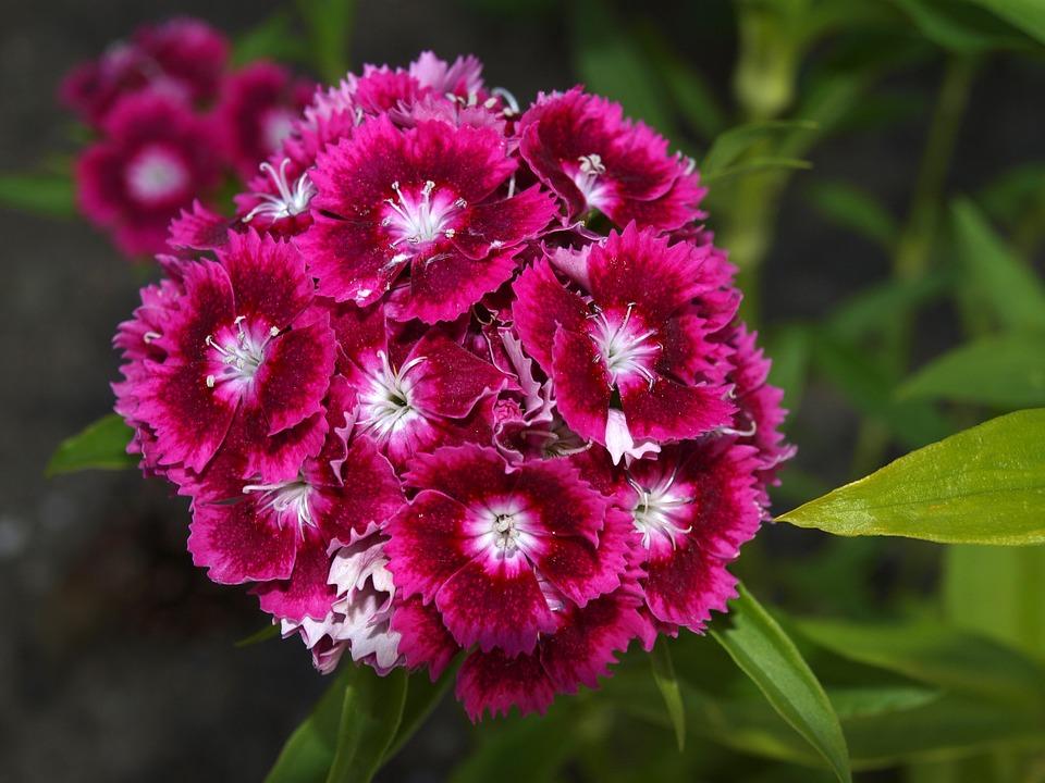Top Chinesische Nelke Blume - Kostenloses Foto auf Pixabay &AH_27