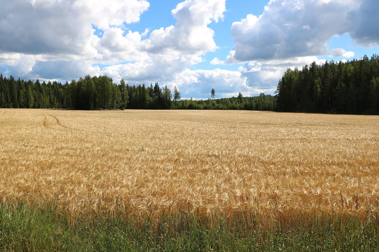 Картинка ячмень в поле