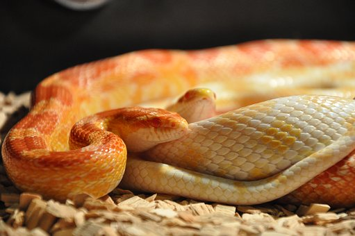 Snakes, Corn Snakes, Reptile, Scale