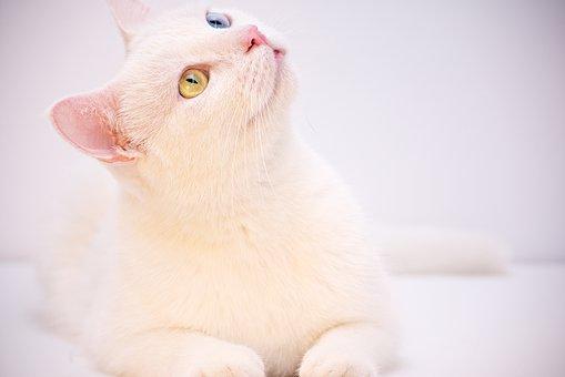 ホワイト, アンゴラ, トルコ, カフェ, ルーム, かわいい, 動物, ペット