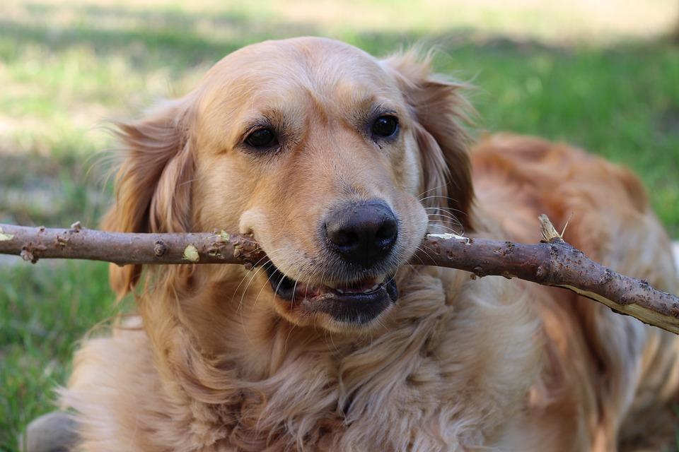 Pies, Golden Retriver, Przyjaciel, Patyk, Aportowanie