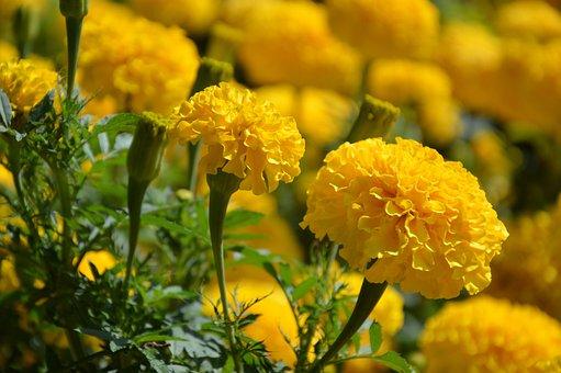 Flower, Marigold, Blossom, Bloom