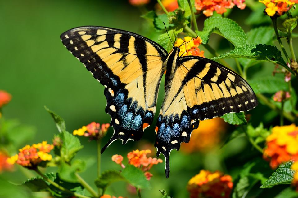 tiger swallowtail butterfly free photo on pixabay
