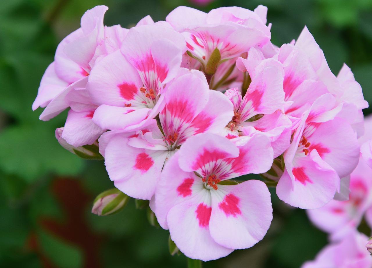 Цветы картинки пеларгония