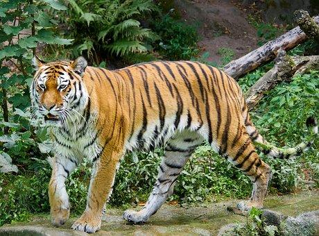 Animal, Tiger, Big Cat, Amurtiger, Cat