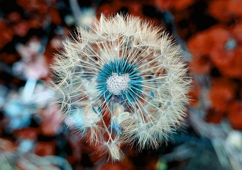 Dandelion, Plant, Close Up, Macro