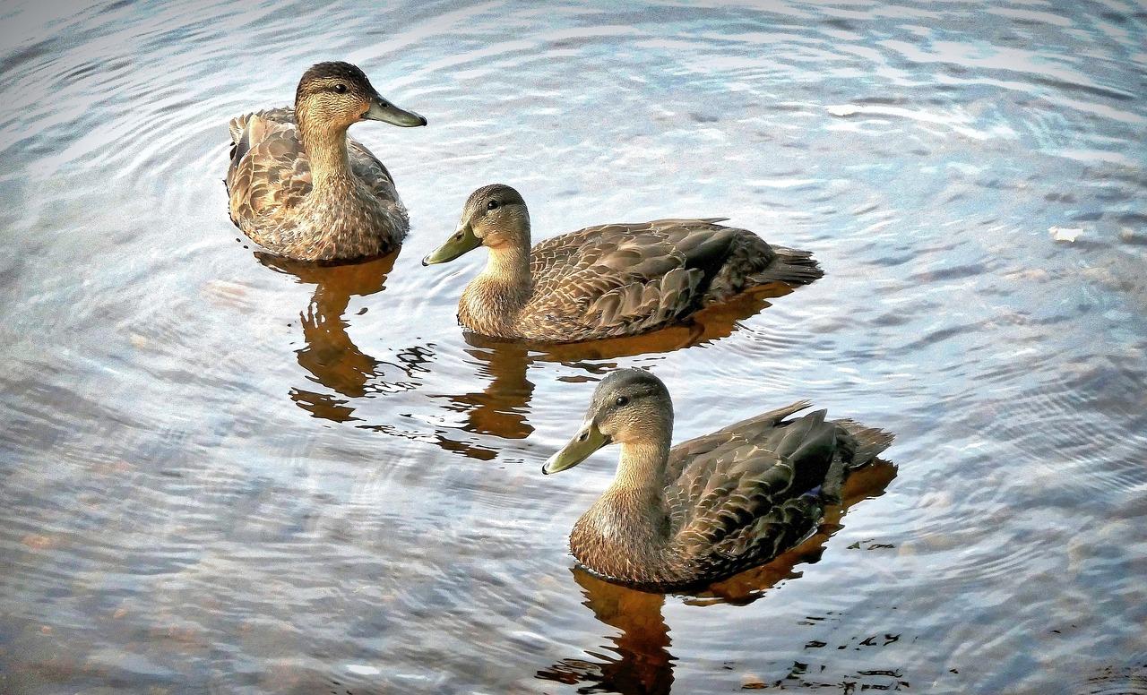 黑色的鸭子,鸟,水,鸭,性质,湖,水禽,魁北克省,加拿大