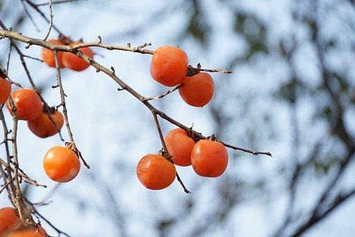 柿, Persimmon, 柿の木