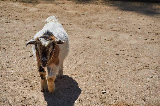 Goat, Petting Zoo, Animal, Zoo