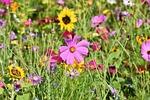 flower meadow, flowers, wildflowers
