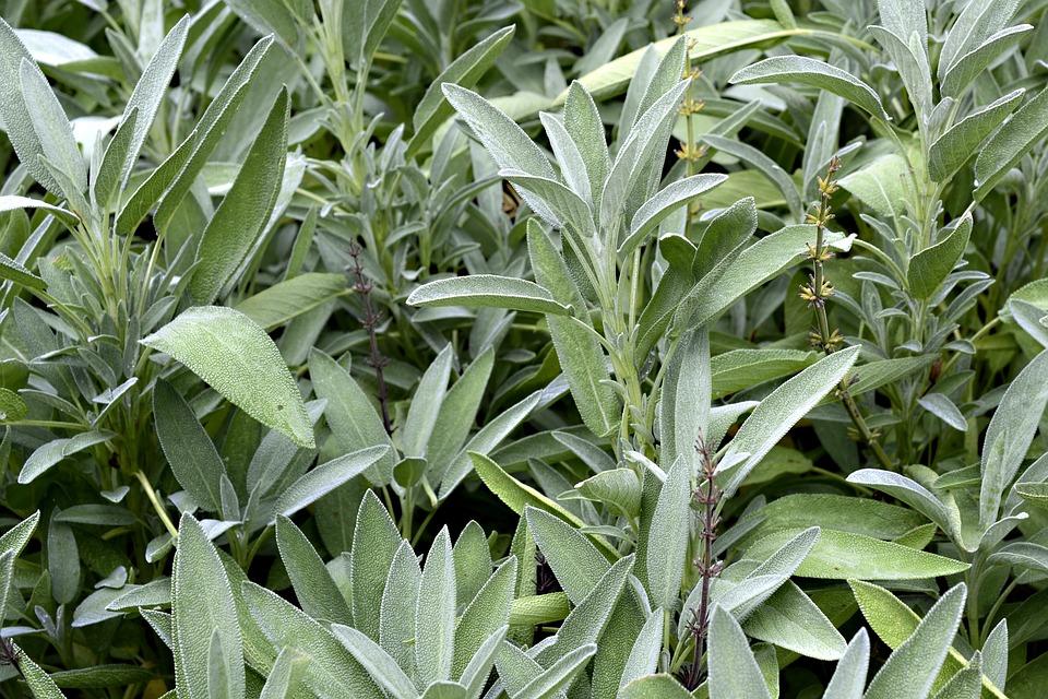 Sabio Planta Flora La - Foto gratis en Pixabay