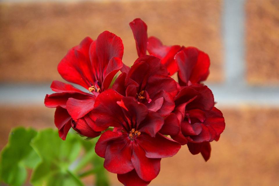 Bluten Geranien Balkonpflanzen Kostenloses Foto Auf Pixabay