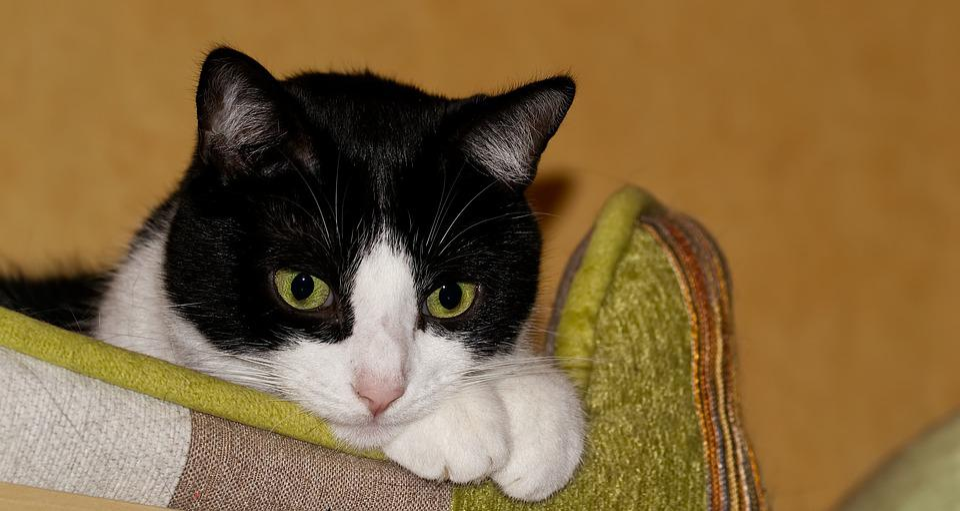 čierna krása mačička pics