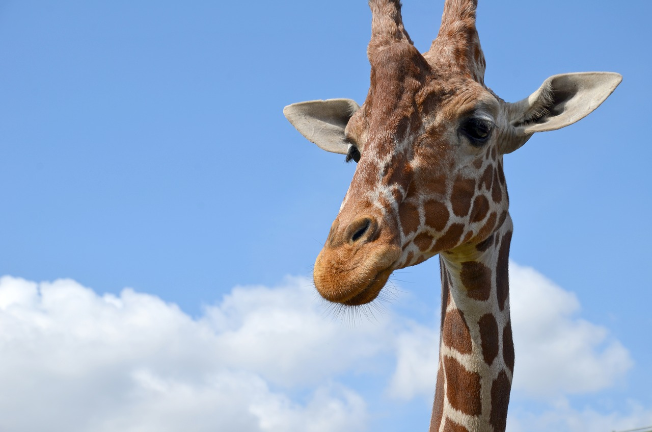 картинка жирафа веселая стати, все