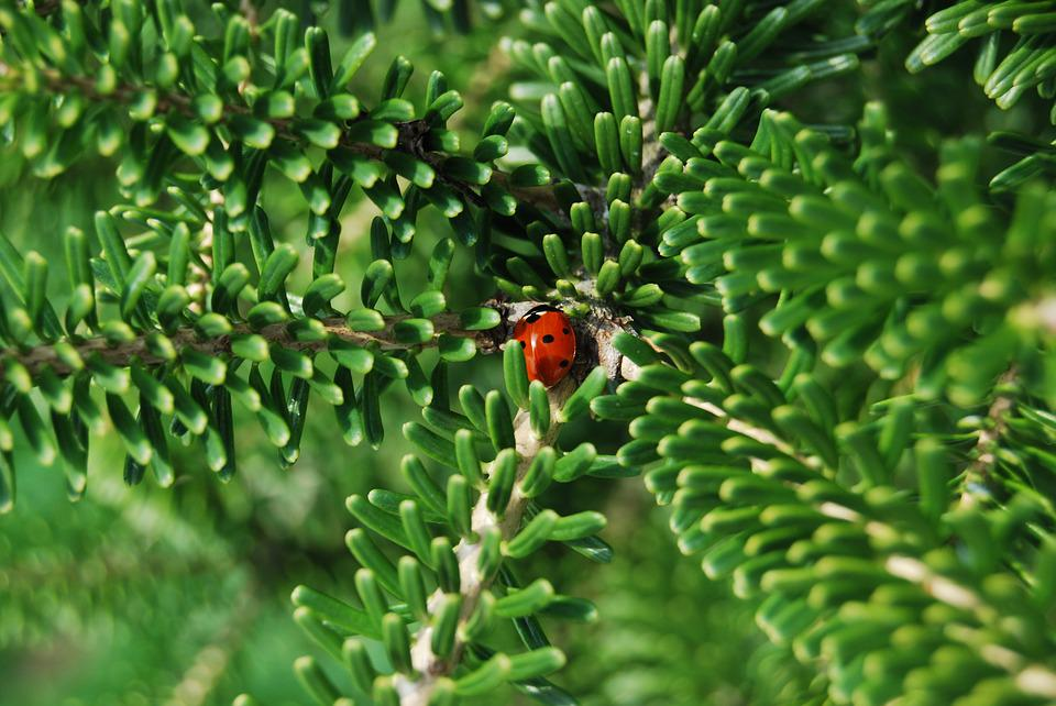 Ladybug Garden Insect Korean Fir Nature Summer