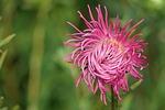 blossom, bloom, pink
