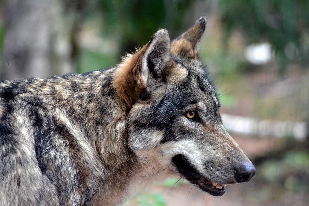 фото с головой волка члены