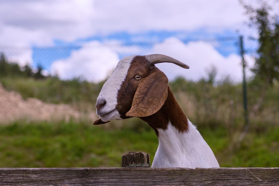 6e1a6b2ac37ea Koza, Roh, Kožušiny, Čtyřnožec, Domáce Koza, Cicavcov