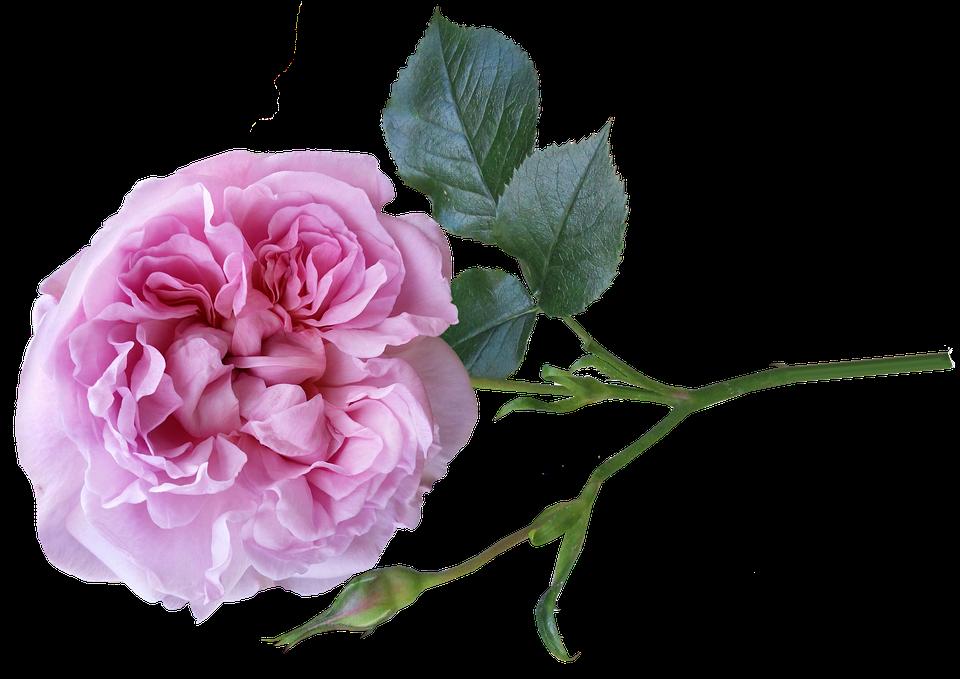 Rose pink perfume free photo on pixabay rose pink perfume flower garden nature mightylinksfo