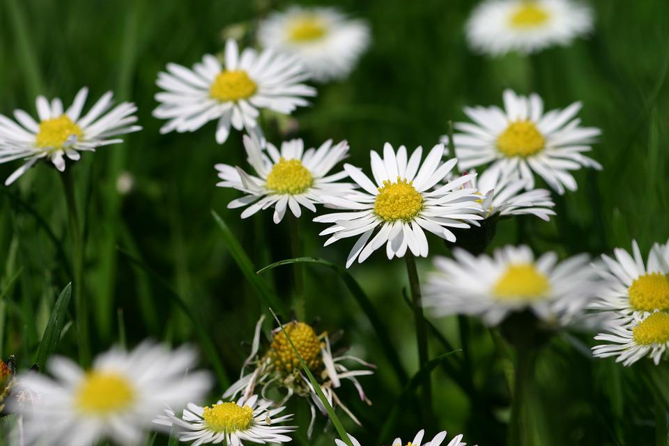 Flower flowers yellow free photo on pixabay flower flowers yellow white meadow daisy daisies mightylinksfo